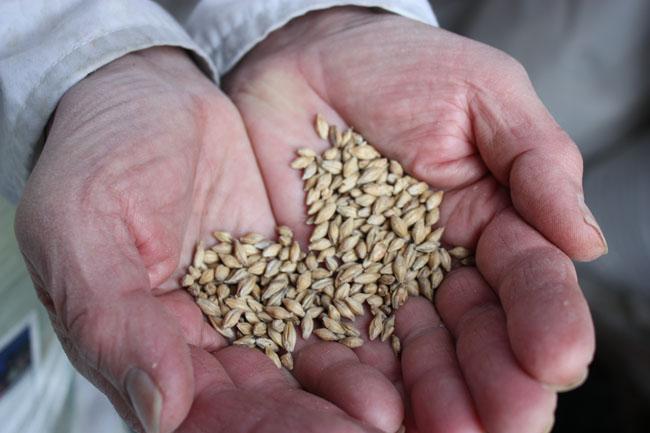 Pale Barley