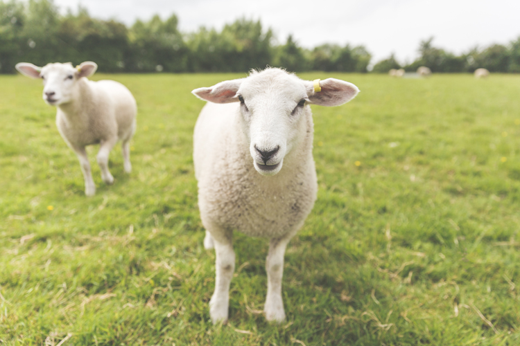 The Lambs-258